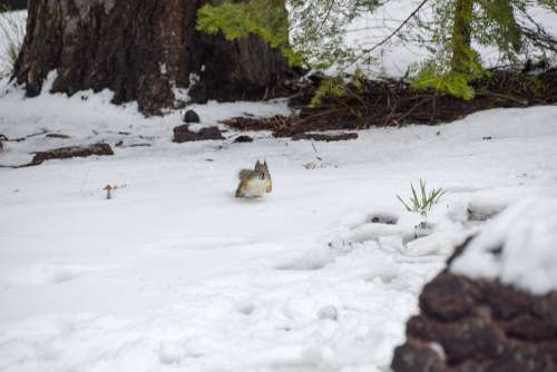 Snow Squirrel Animal Cute