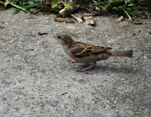 Sparrow Endangered Spicy Bird Natural Nature