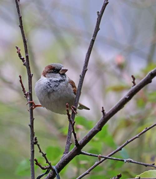 Sparrow Bird Branches Gripping Perched Cheeky