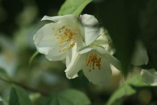 Spring Bush Flowering White Flower Jasmine