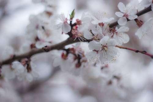 Spring Colors Bloom Blosom Cherry