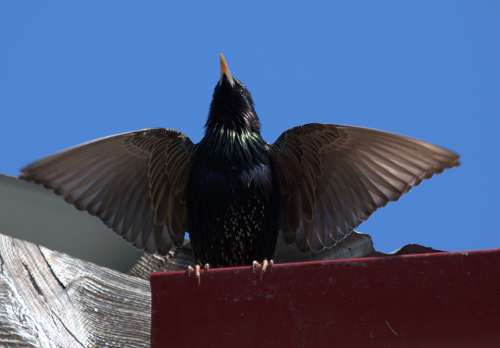 Starling Birds Wings Mating