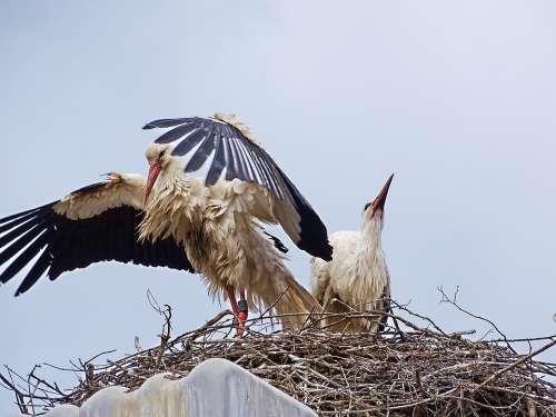 Stork Nature Bird Plumage Animal Rattle Stork