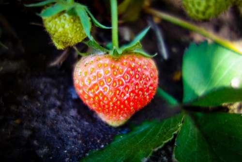 Strawberry Unripe Strawberry Growth Green