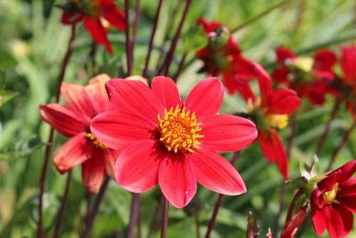 Summer Red Garden Wild Yellow Flower Blossom