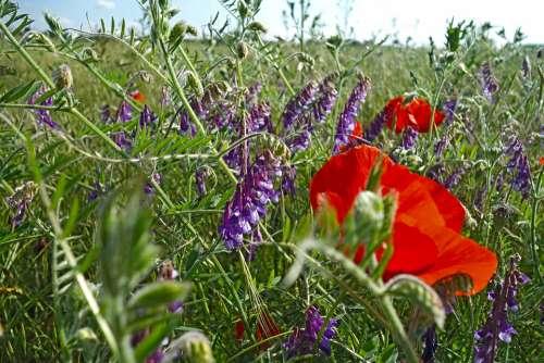 Summer Meadow Poppies Vetches Klatschmohn Nature