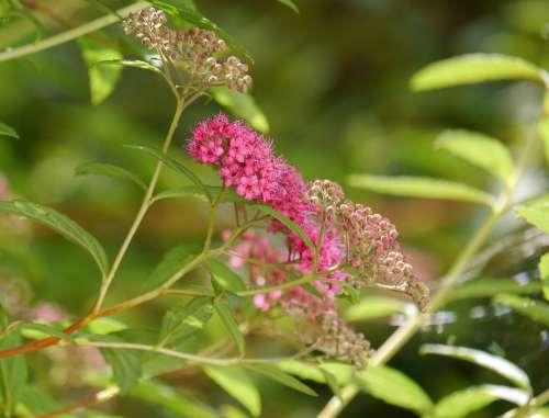 Summer Pierre Ornamental Plant Umbel Flower Buds