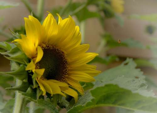 Sunflower Flowers Yellow Nature Sun Summer