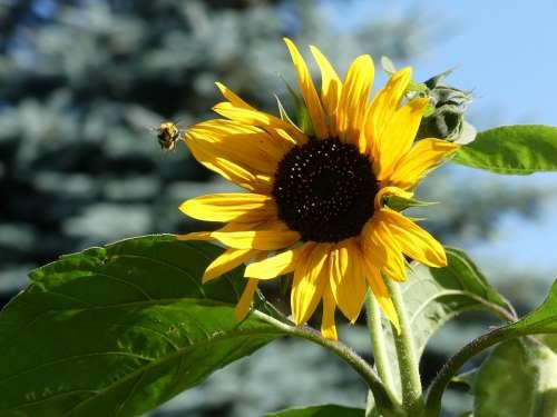 Sunflower Yellow Bee Garden Summer Flower Blossom