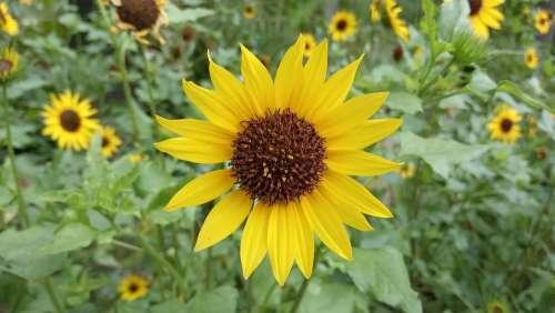 Sunflower Helianthus Yellow Flower Sunflowers