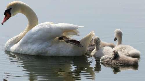 Swan Boy Fluffy Water Bird Bird Nature Swim