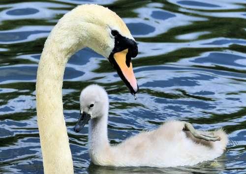 Swan Cygnet Animal Water Bird Plumage Nature
