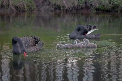 Swan Water Black Cygnet Elegant Black Swan