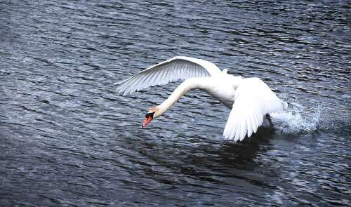 Swan Water Start Flight Wing Bird Animal Nature