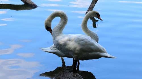 Swans Bank Lake Water Nature Beautiful Waters