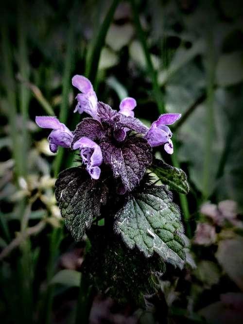 Taubnessel Purple Green Plant Wildflower Wild