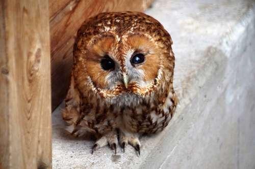 Tawny Owl Owl Predator Night Bird Eyes Cute