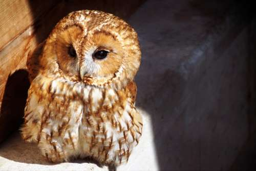 Tawny Owl Owl Predator Night Bird Eyes Cute