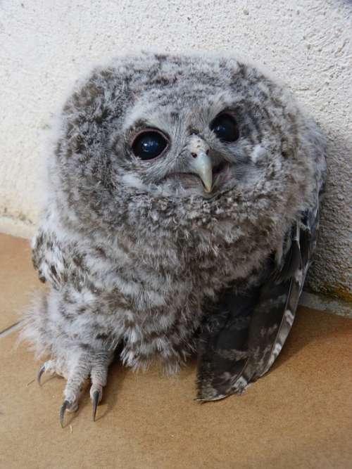 Tawny Owl Gamarús Night Bird Chicken Down