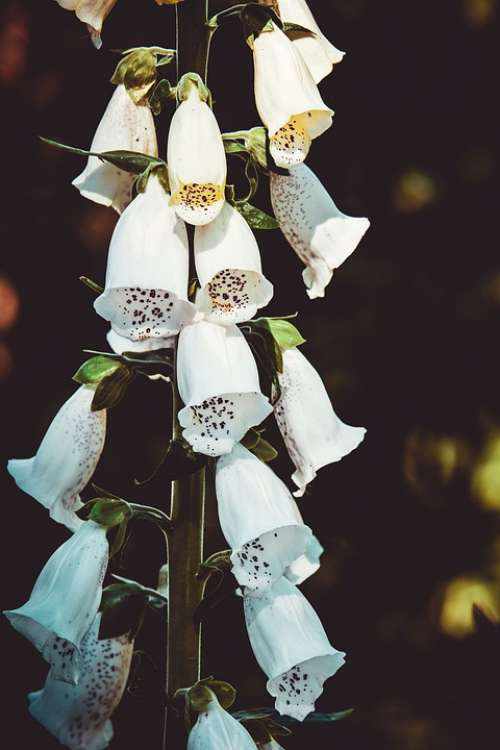 Thimble Flower Blossom Bloom Blooms White Bell