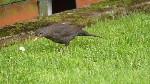 Throttle Rush Bird Foraging Blackbird
