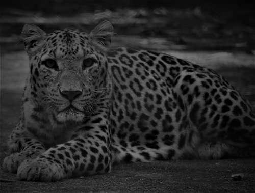 Tiger Spotted Predator Carnivore Endangered