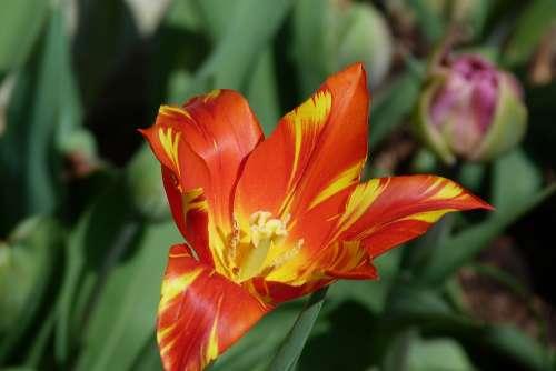 Tulip Spring Flower Orange Garden Standen Nt