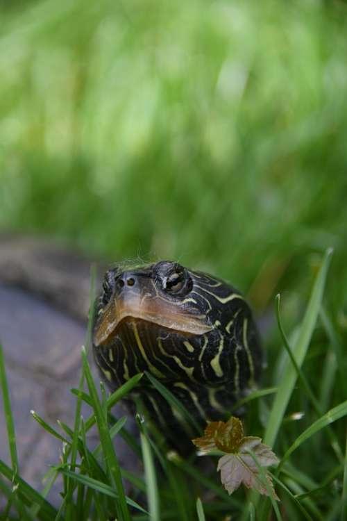 Turtle Reptile Grass Nature
