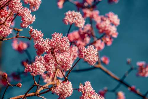 Viburnum Fragrant Snowball Bush Branch Flowers