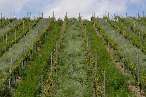 Vineyard Vines Spring Wine Winegrowing Agriculture