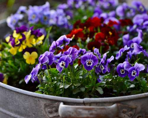 Violets Flowers Nature Spring Violet Colorful