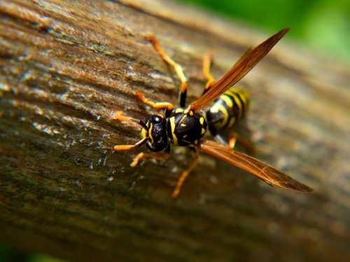 Wasp Close Up Nature Wood Animal Garden Summer