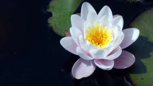Water Lily Garden Pond Aquatic Plant Bloom
