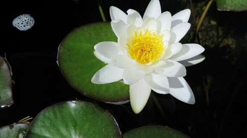 Water Lily White Lotus Water Bloom Pond Blossom