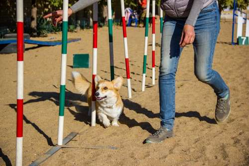 Welsh Corgi Pembroke Corgi Dog Pet Animal Cute