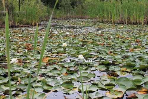 Wetland Marshland Pod Lily Pad Nature Water