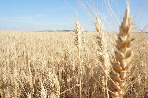 Wheat Field Russia Harvest
