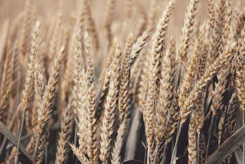 Wheat Spike Cereals Grain Field Agriculture
