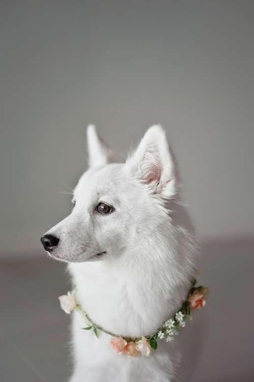 White Puppy Canine Companion Animal Dog