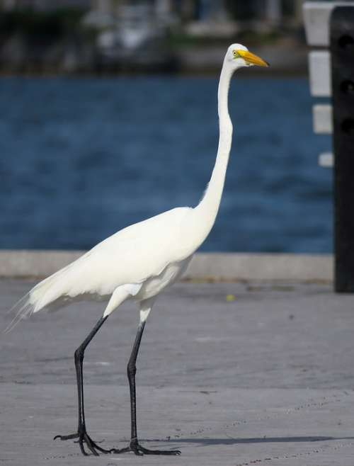White Heron Florida Yellow Beak Black Legs