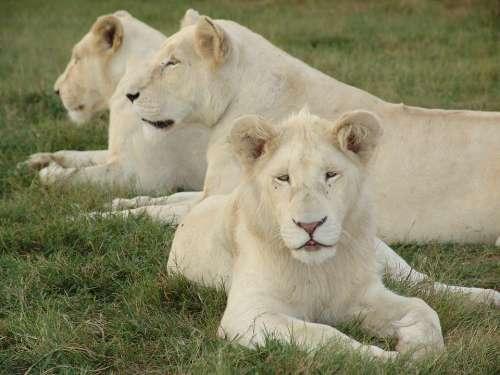 White Lion White Lioness Lion Africa Lioness