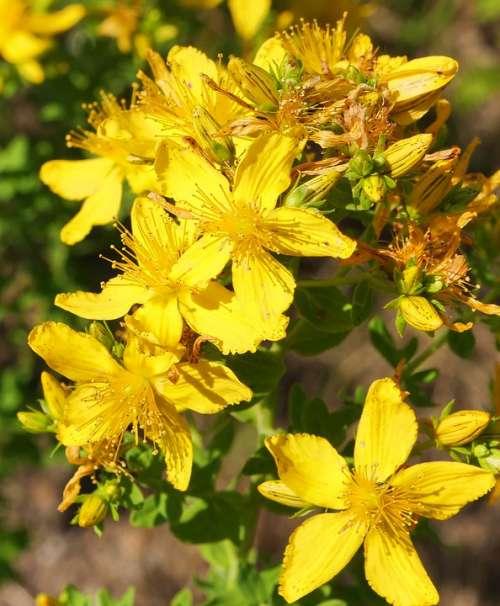 Wild Plant Shrub Flowers Bud Yellow Mm Stamens