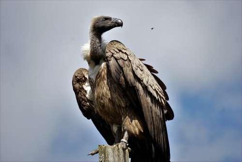 Wildlife Park Zoo Belgium Raptor Vulture