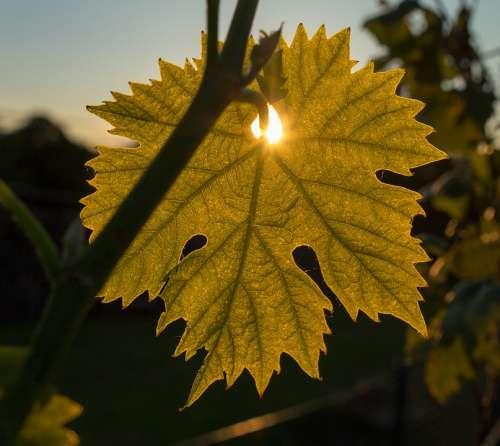 Wine Wine Leaf Sun Sunbeam Sunset Evening
