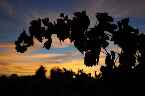Wine Silhouette Vine Grape Vintage Vineyards