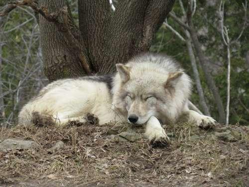 Wolf Wild Sleep Predator Animal Nature Mammal