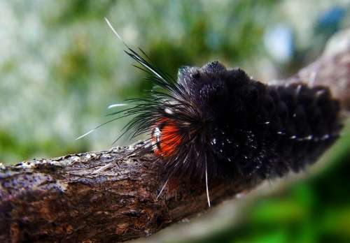 Worm Larva Caterpillar Insects Nature Butterfly