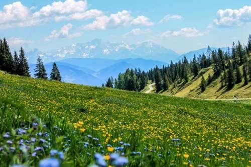 Yellow Field Flowers Meadow Mountain Meadow