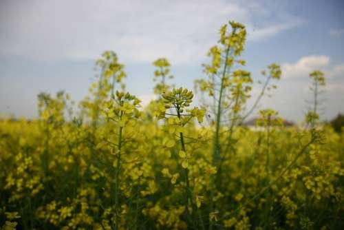 Yellow Plant Rapeseed Meadow Fields Landscape