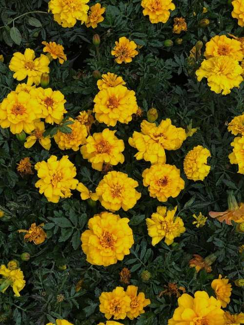 Yellow Marigold Marigolds Flowers Green Leaves